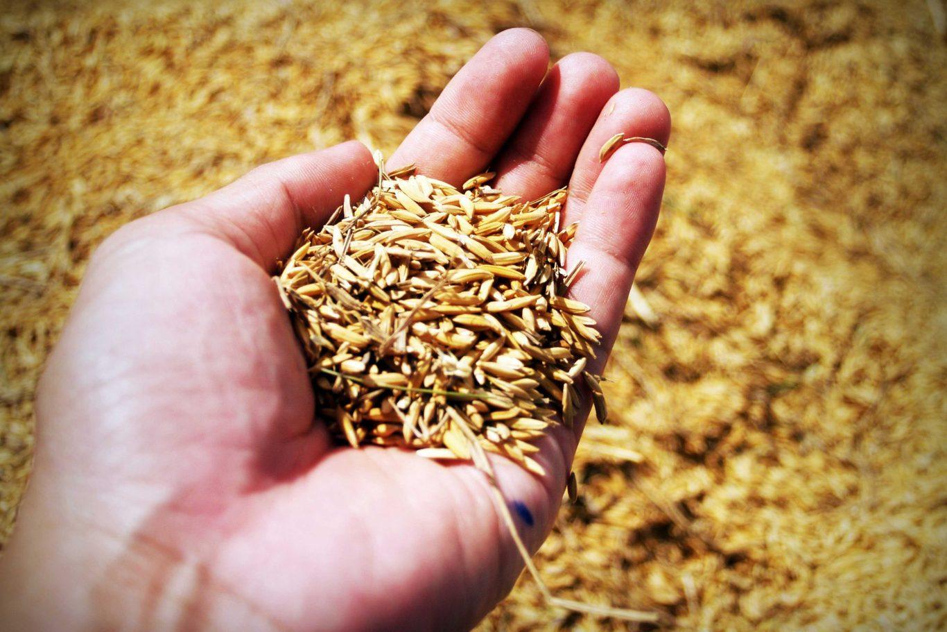 Araliya Rice   Paddy Cultivation in Sri Lanka