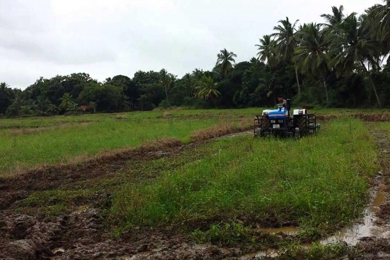 Araliya Rice | Paddy Cultivation in Sri Lanka